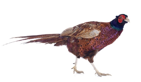 pheasant: Male European Common Pheasant, Phasianus colchicus, in front of white background