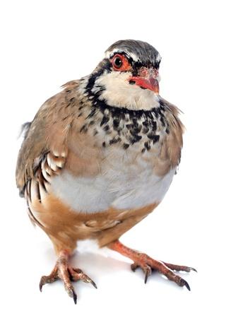 À pattes rouges ou en français Partridge, Alectoris rufa en face de fond blanc