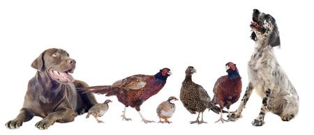 kuropatwa: ptactwo i psy myśliwskie przed białym tle