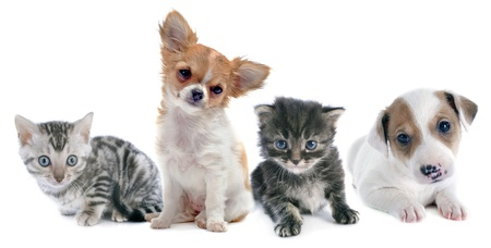 puppies and kitten in front of white background Stock Photo - 22128784