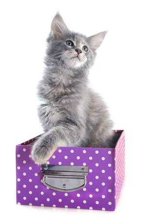 portrait of a purebred  maine coon kitten in a craft on a white background Stock Photo - 22128787
