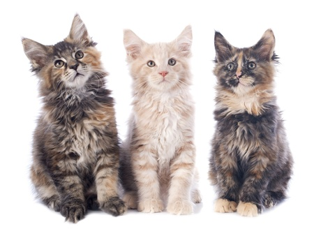 portrait of three purebred  maine coon kitten on a white background Stock Photo - 22128788