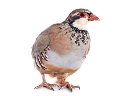 kuropatwa: Red nogami lub French Partridge, Alectoris rufa przed białym tle