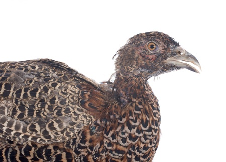 female European Common Pheasant, Phasianus colchicus, in front of white background Stock Photo - 22128800
