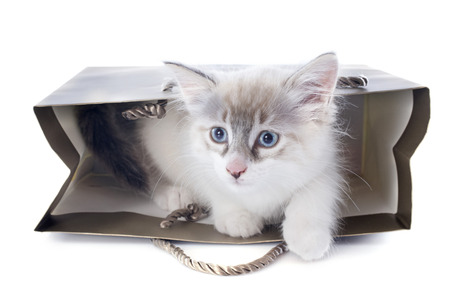 birman kitten: playing birman kitten in front of white background