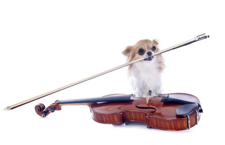 carying: beautiful violin  and chihuahua isolated on a white background Stock Photo