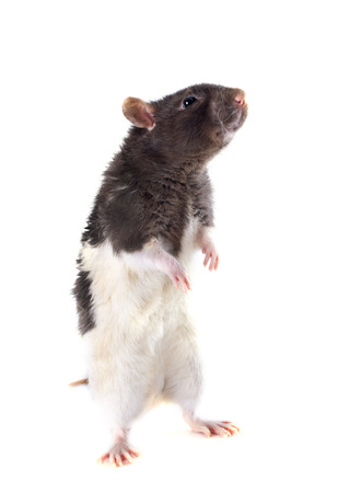 upright: domestic rat in front of white background