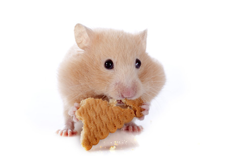 russian hamster: eating hamster in front of white background Stock Photo