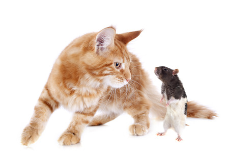 gato jugando: retrato de un pura raza maine coon gatito y de rata en un fondo blanco