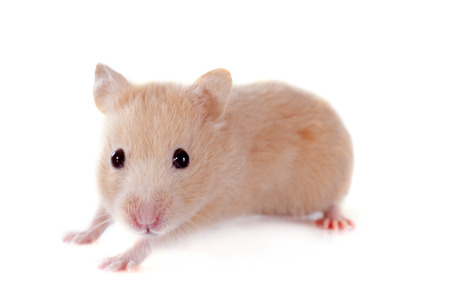 russian hamster: young hamster in front of white background