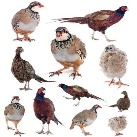 CODORNIZ: aves de caza en frente de fondo blanco