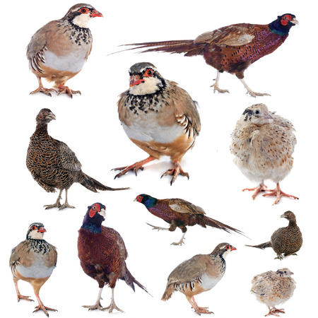 quail: game birds in front of white background