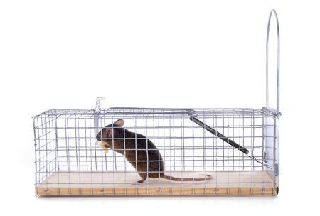 piege souris: pi�ge � souris devant un fond blanc