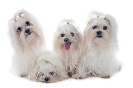 white maltese: maltese dogs in front of white background