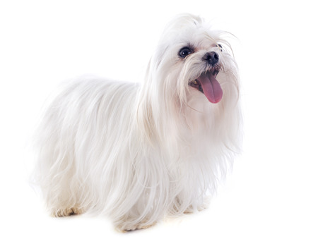 white maltese: maltese dog in front of white background