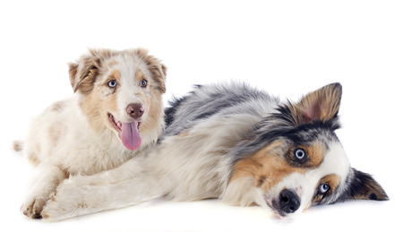 purebred australian shepherds  in front of white background photo