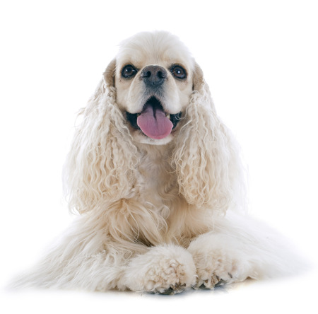 hunting cocker spaniel: american cocker spaniel in front of white background