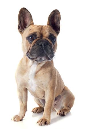 fondo blanco: retrato de un frente bulldogin franc?s de pura raza de fondo blanco Foto de archivo