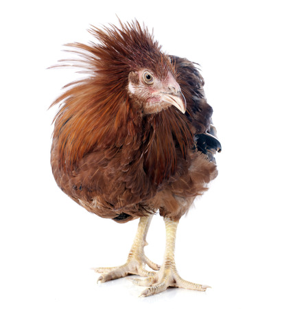 capon: brown capon in front of white background