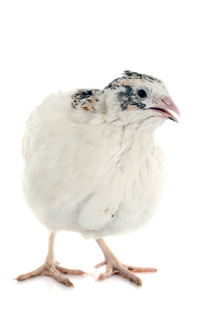 japanese quail: white quail in front of white background