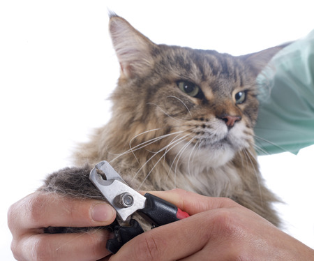 cutting the nails of a maine coon cat on a white background photo