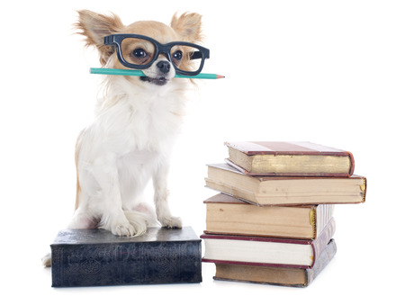 chihuahua and books in front of white background photo