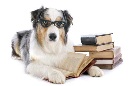 reading glasses: purebred australian shepherd  and books in front of white background