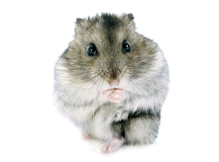 russian hamster: russian hamster in front of white background Stock Photo