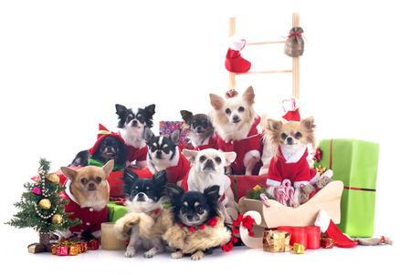 perros vestidos: chihuahuas Navidad delante de fondo blanco