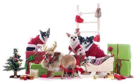 christmas chihuahuas in front of white background photo