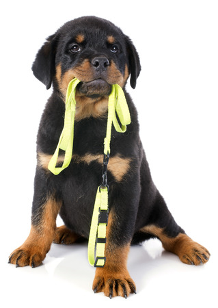 dog on leash: retrato de un rottweiler cachorro de pura raza con el correo delante de fondo blanco Foto de archivo