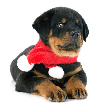 portrait of a purebred puppy rottweiler in front of white background photo