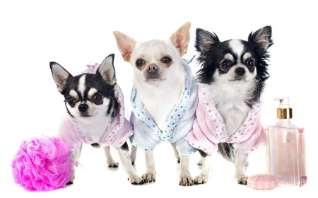 body grooming: purebred chihuahuas after the bath in front of white background