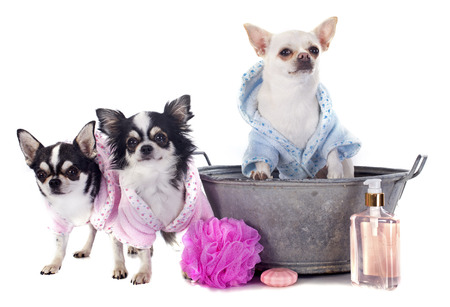 long haired chihuahua: purebred chihuahuas after the bath in front of white background