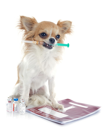 chihuahua and syringe in front of white background photo