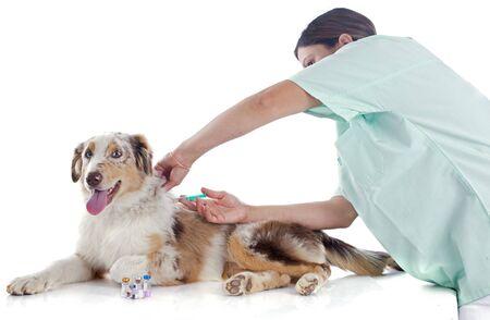 vacunación: pastor australiano de pura raza y veterinario delante de fondo blanco Foto de archivo