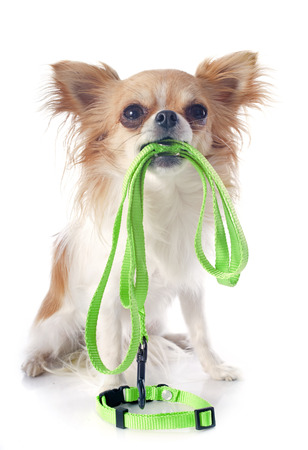 portrait of a cute purebred  chihuahua who holding a leash in front of white background photo