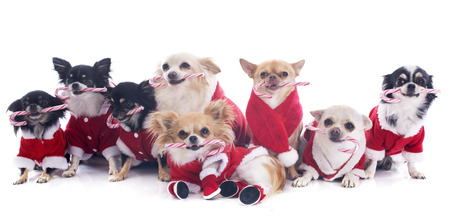 dressed chihuahuas with candy in front of white background photo