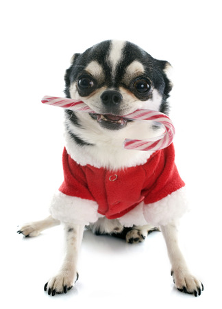 dressed chihuahua with candy in front of white background photo