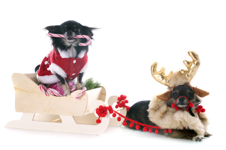 chihuahuas and sledge in front of white background photo