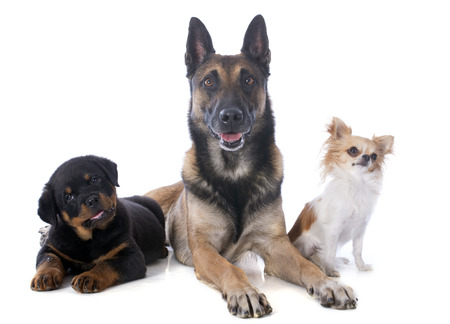 police dog: malinois, rottweiler and chihuahua on a white background