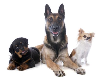 perro policia: malinois, rottweiler y chihuahua en un fondo blanco Foto de archivo