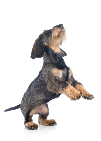 dachshund: puppy Wire haired dachshund in front of white background Stock Photo