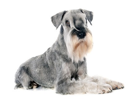 standard: standard schnauzer in front of white background Stock Photo
