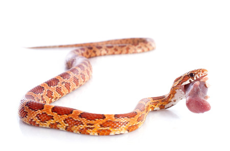 constrictors: eating corn snake, elaphe guttata in front of white background Stock Photo