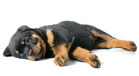 rottweiler: portrait of a purebred puppy rottweiler in front of white background Stock Photo