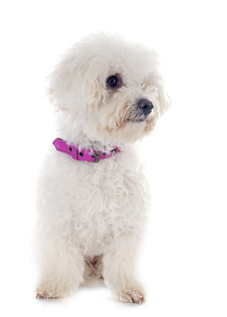 maltese dog: bichon frise in front of white background