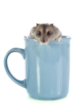 russian hamster: russian hamster in teacup in front of white background