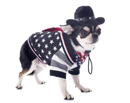 short hair dog: american chihuahua in front of white background