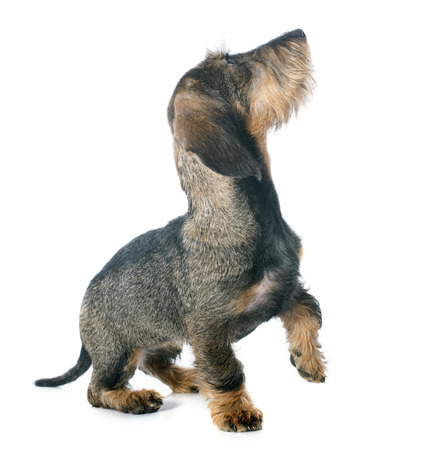 requesting: puppy Wire haired dachshund in front of white background Stock Photo